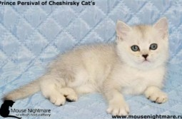 Prince Persival of Cheshirsky Cat's