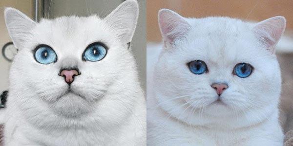 коби порода кошек фото